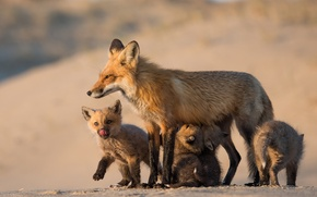 Picture nature, Fox, Mom and her babies