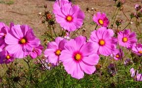 Picture nature, pink, field, flowers, kosmeya