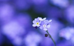 Picture macro, flowers, tenderness, focus, petals, blur, blue, Forget-me-nots