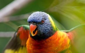 Wallpaper Bird, blur, parrot