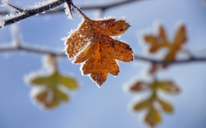 Picture frost, leaves, branches, yellow, autumn, freezing