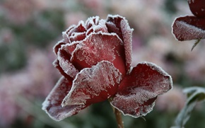 Picture flowers, macro, cold, background, nature, frost, winter, Wallpaper, flower, rose, village