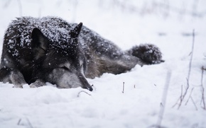 Wallpaper cold, snow, Wolf