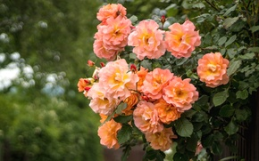 Picture Bush, roses, peach