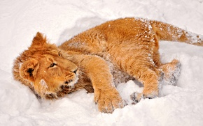 Picture winter, look, snow, lion