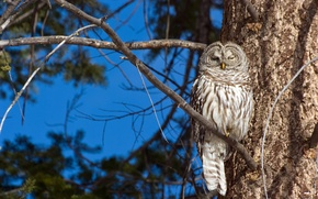Picture branches, tree, owl, bird, A barred owl