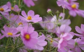 Picture summer, flowers, pink, field, kosmeya