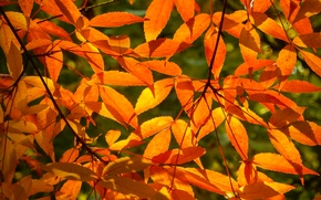 Picture autumn, leaves, branches, nature, sheet, widescreen, Wallpaper, branch, wallpaper, widescreen, Autumn, background, leaves, the Wallpapers, …