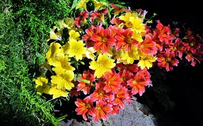 Picture flowers, black background, Salpiglossis