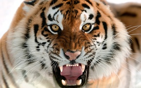 Picture cat, face, fangs, grin, the Amur tiger