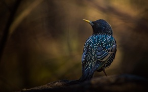 Picture background, bird, branch, Starling