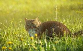 Picture grass, flowers, glade, Cat, red, walk