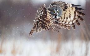 Picture winter, snow, flight, owl, wings