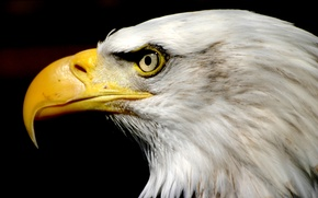 Picture USA, Eagle, nature, bird, symbol