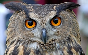 Picture look, portrait, head, Common owl (Bubo Bubo)