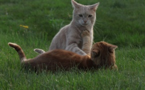 Picture cat, grass, cat, the game, red