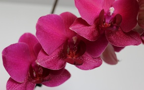 Picture Orchid, an Orchid branch, Orchid flower