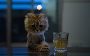 Picture cat, look, glass