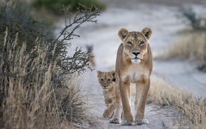 Picture lioness, lion, wildlife