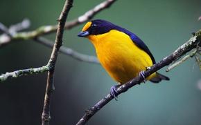 Picture Black, Yellow, Bird, Branch, Gaturamo