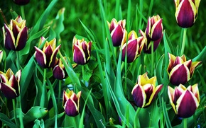 Picture spring, tulips, Tulips