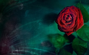 Picture rose, turquoise, background
