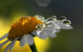 Wallpaper flower, drops, macro, nature, Daisy