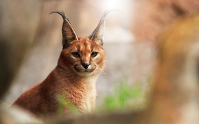 Picture cat, background, looks, razmytost, Caracal