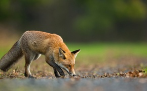 Picture leaves, nature, animal, Fox, hunting, Fox