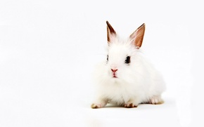 Picture white, background, rabbit, ears