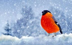 Picture snow, bird, Winter, feathers, bullfinch