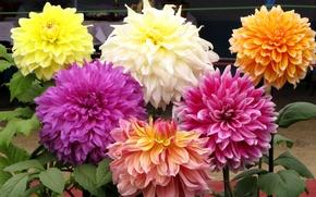 Picture petals, garden, Bud, Dahlia