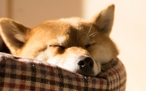 Picture face, animal, stay, dog, sleeping, ears