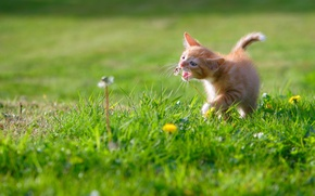 Picture baby, meadow, kitty, dandelions, ginger kitten