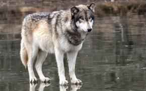 Picture look, wolf, predator