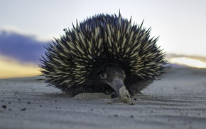 Picture sand, needles, animal, echidna