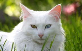 Picture cat, grass, cat, lawn, white, different eyes