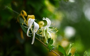 Picture flowers, bokeh, lemongrass
