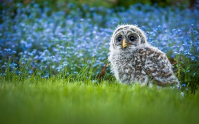 Picture grass, flowers, owl, bird, chick, bokeh, A barred owl