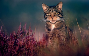 Wallpaper grass, nature, wildcat, wild cat