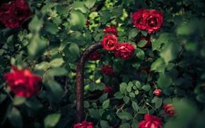 Picture Bush, roses, petals, red