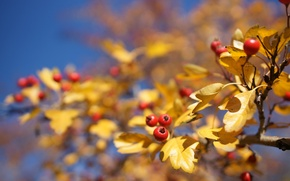 Picture autumn, the sky, glare, background, tree, blur, branch, Berries, red, yellow, Fox, hawthorn