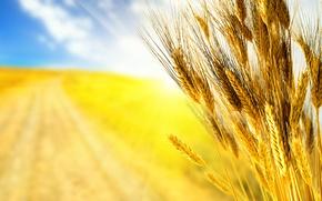 Picture road, wheat, field, autumn, the sky, grass, macro, rays, light, yellow, nature, grain, field, grain, …