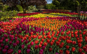 Picture trees, flowers, Park, tulips, buds, colorful