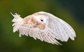 Picture look, flight, owl, bird, wings, feathers, stroke