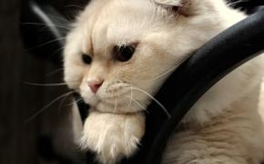 Picture look, muzzle, Scottish fold, Scottish fold cat