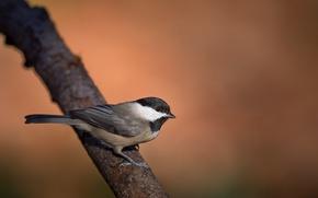 Wallpaper chickadee, wildlife, branch, bird