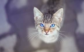 Picture eyes, look, background, kitty, Kote