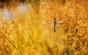 Wallpaper grass, drops, Rosa, glare, dragonfly, a blade of grass, panicles