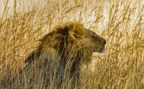 Picture cat, grass, Leo, mane, Savannah, Africa, Hwange National Park, Zibabve